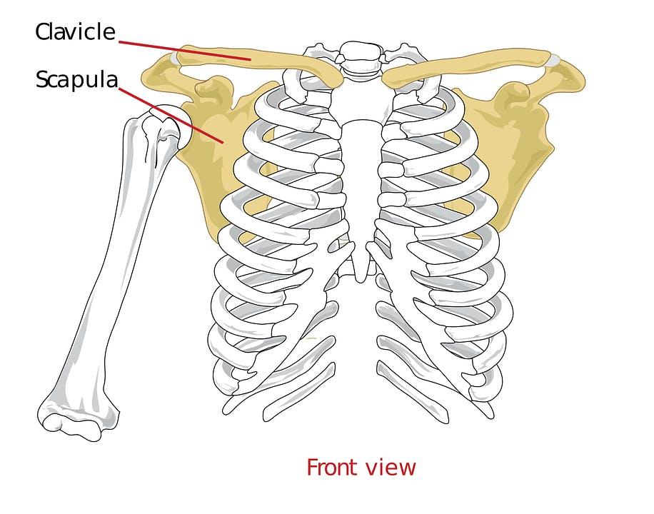 clavicalscapula