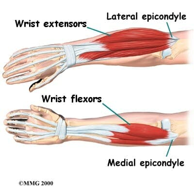 Forearm Muscles - Flexors and Extensors
