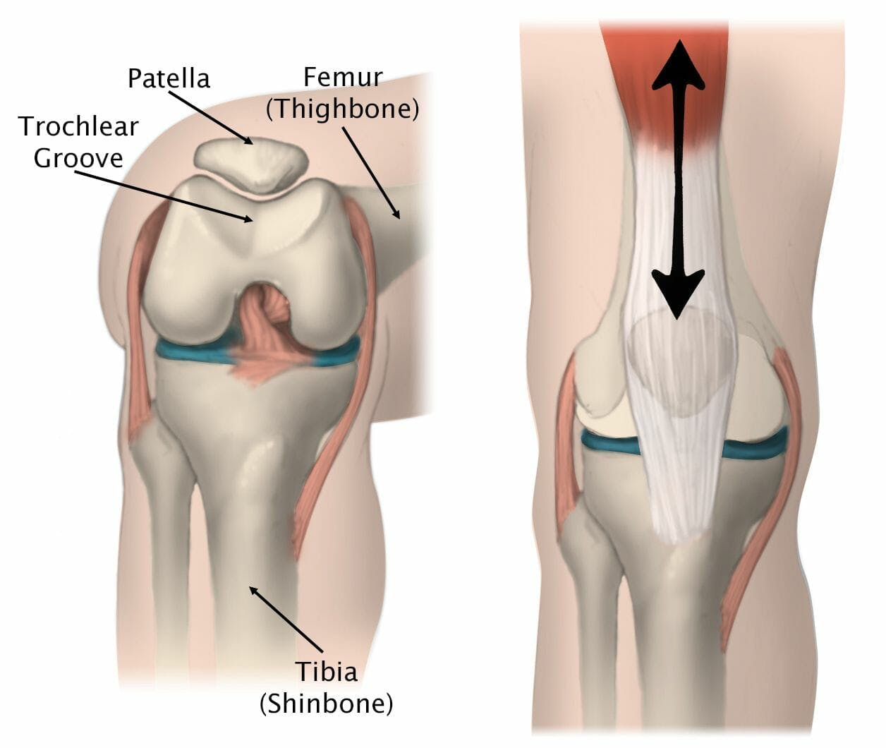 knee medical illustration patella