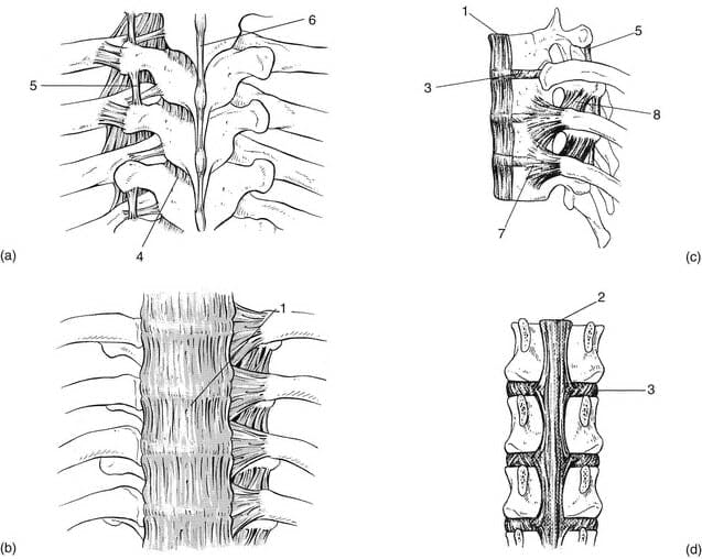 Spinal Ligaments - Medical Illustration Originally Sourced from Kenhub.com