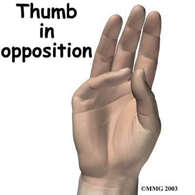 Diagram of Thumb in Opposition