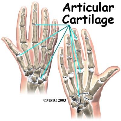 Diagram of Articular Cartilage