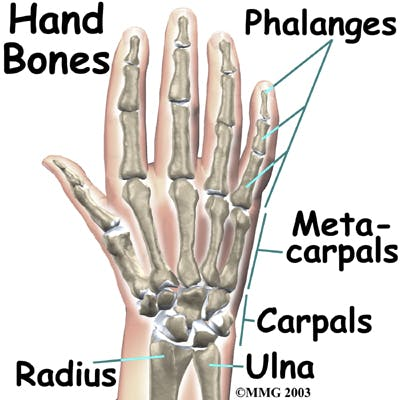 Diagram of Carpals