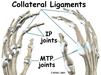 Diagram of Collateral Ligaments