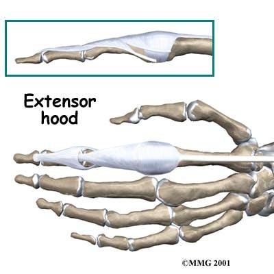 Diagram of Extensor Hood
