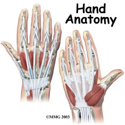 Diagram Hand Anatomy