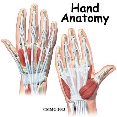 Diagram Hand Anatomy