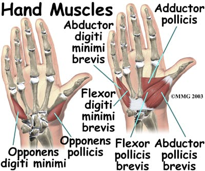 Diagram of Hand Muscles