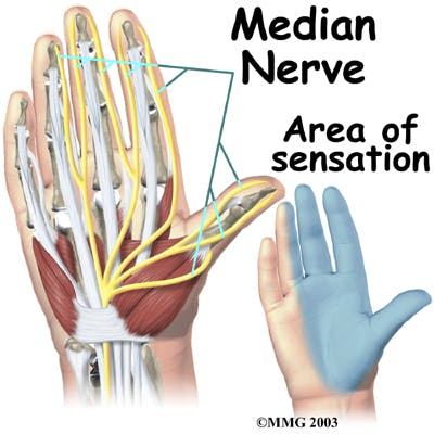 Diagram of Median Nerve