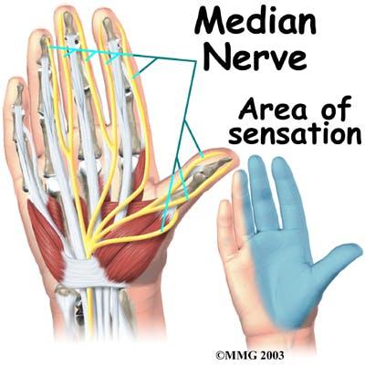 Diagram of Median Nerve