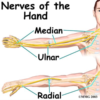Diagram of the Nerves of the Hand