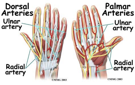 Diagram of Radial Artery