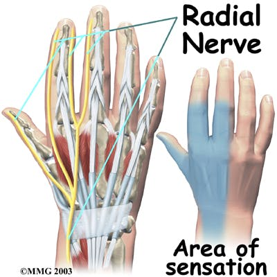 Diagram of Radial Nerve